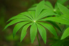 A leaf of Lupin flower. Green Lupin flowers leaf focused Royalty Free Stock Image