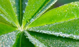 Leaf of lupinus Stock Image