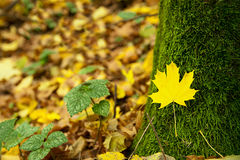 Leaf lying on the moss. Maple leaf on a background of moss Royalty Free Stock Photos