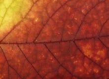 Leaf macro. Autumn leaf macro Royalty Free Stock Photo