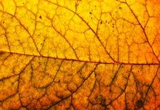 Leaf macro. Autumn leaf macro Royalty Free Stock Image