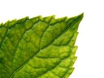 Leaf macro. Green leaf texture on white background macro photo Royalty Free Stock Images
