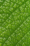 Leaf macro Royalty Free Stock Photos