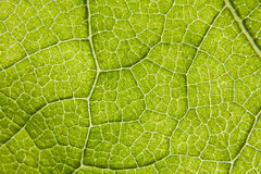 Leaf macro Royalty Free Stock Photography