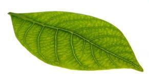Leaf Macro Royalty Free Stock Image