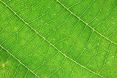 Leaf macro Stock Images