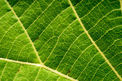 Leaf Macro Closeup Royalty Free Stock Images