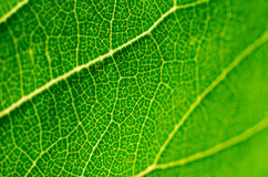 Leaf macro. Green leaf macro as a background Royalty Free Stock Photo