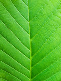 Leaf macro. Green leaf macro background with details Stock Photos