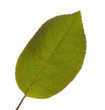 Leaf Macro Isolated. On a White Background Royalty Free Stock Image