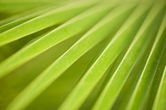 Leaf : macro of palm Royalty Free Stock Photography