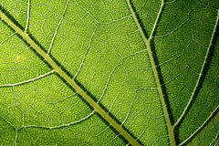 Leaf macro pattern of green Royalty Free Stock Images