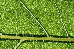 Leaf macro pattern of green Stock Images
