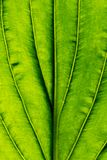 Leaf macro. A plant leaf in macro Stock Images