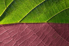 Leaf macro red and green Royalty Free Stock Photography