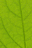 Leaf macro shot. Shallow DOF Stock Photos