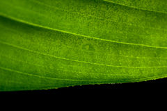 Leaf macro. Macro shot of green leaf Royalty Free Stock Images