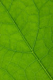 Leaf macro Royalty Free Stock Photo