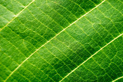 Leaf Macro Shot Royalty Free Stock Photo
