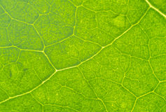 Leaf Macro Texture Royalty Free Stock Photo
