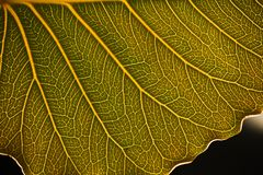 Leaf veins background. Leaf macro vein veins leaves green lush foliage closeup eco environment background glowing stock image
