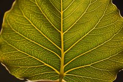 Leaf veins background. Leaf macro vein veins leaves green lush foliage closeup eco environment background glowing stock photos