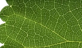 Leaf macro view Royalty Free Stock Photo