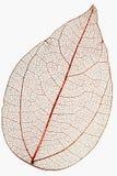 leaf macro  on white Royalty Free Stock Image