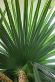 Leaf of madagascar screw tree pandanus utilis pandanaceae Stock Photos