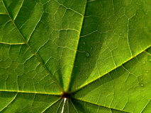 Leaf of maple Royalty Free Stock Photo