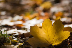 Leaf of maple. Colorful background Royalty Free Stock Photos