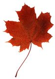 Leaf maple. Red leaf maple isolated on white Royalty Free Stock Image