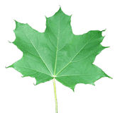 Leaf of maple. An object on white background Stock Photography