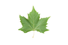 Leaf maple. Green leaf maple isolated on white Stock Photo