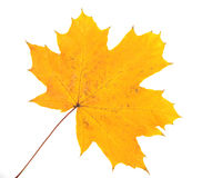 Leaf of a maple. Of yellow color stock photography