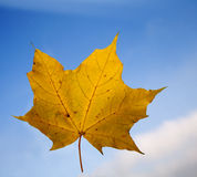 Leaf of the maple in atumn Royalty Free Stock Photos