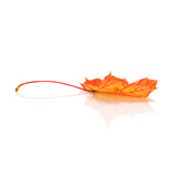 Leaf of maple. Autumn colorful leaf of maple on white stock photo