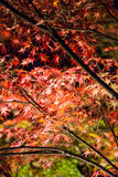 Leaf maple background at night Royalty Free Stock Photography