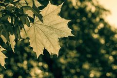 Leaf maple in beams of bronze color Stock Photo