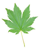 Leaf of maple 4 Stock Photography