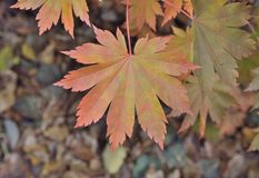 Leaf of maple 8. A close up of the red leaf of maple Acer pseudosieboldianum stock photo