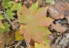 Leaf of maple 4. A close up of the red leaf of maple Acer pseudosieboldianum stock image
