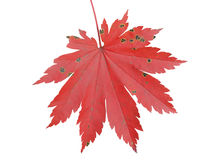Leaf of maple 4 Royalty Free Stock Photos