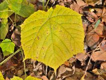 Leaf of maple 12. A close up of the yellow leaf of maple Acer tegmentosum stock images