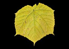 Leaf of maple 9. A close up of the yellow leaf of maple Acer tegmentosum. Isolated on black royalty free stock images