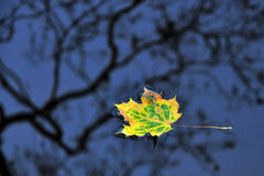 Leaf maple floating Royalty Free Stock Photo