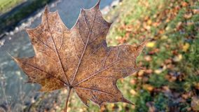 Leaf, Maple Leaf, Autumn, Plant royalty free stock photography