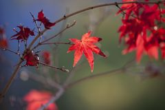 Leaf, Maple Leaf, Red, Autumn Stock Photos