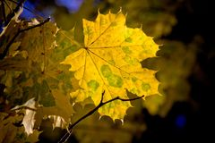 Leaf, Maple Leaf, Yellow, Autumn Stock Images