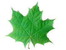 A Leaf of a Maple Tree Stock Image
